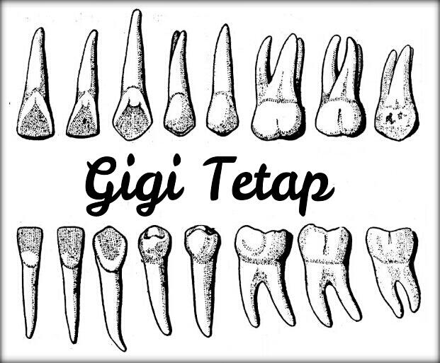 DHE: Macam, Jumlah, Waktu Tumbuh dan Tanggal Gigi (3/6)