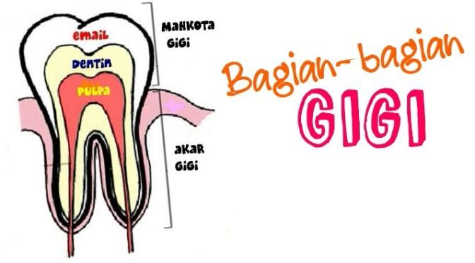 DRGNITA: Bagian-bagian Gigi