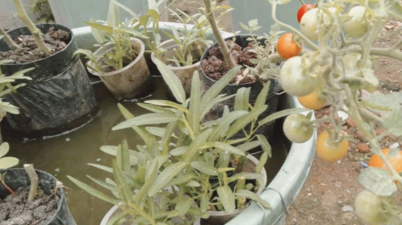 Budidaya Ikan Dan Sayuran Dalam Ember Budikdamber Re Mark A Blog